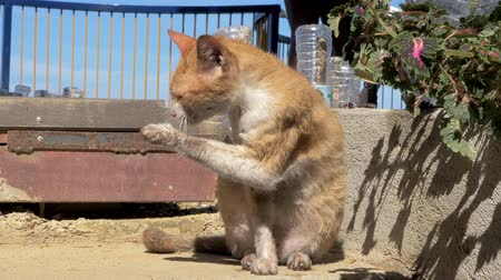 animal adoption : Cute homeless ginger cat licks his leg outside. Close-up of a cat washing his leg and head