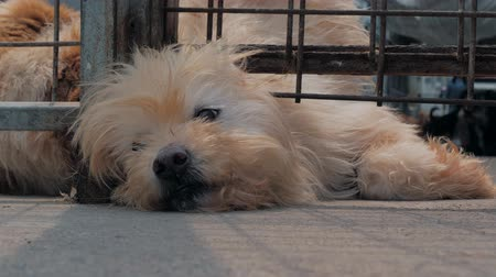 nešťastný : Close-up of sad dog in shelter behind fence waiting to be rescued and adopted to new home. Shelter for animals concept Dostupné videozáznamy