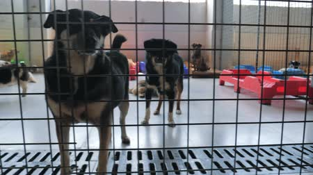 enclosure : Gimbal steadicam shot of sad dogs in shelter behind fence waiting to be rescued and adopted to new home. Shelter for animals concept