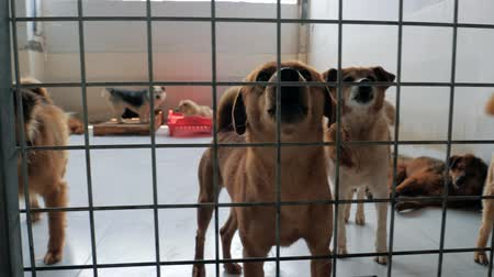 unloved : Gimbal steadicam shot of sad dogs in shelter behind fence waiting to be rescued and adopted to new home. Shelter for animals concept
