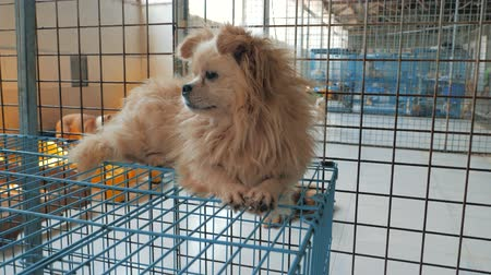enclosure : Gimbal steadicam shot of sad dog in shelter lying on the top of cage. Shelter for animals concept.