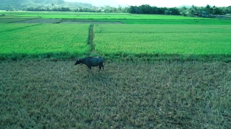 рог : Aerial shot of water buffalo (carabao) eats grass in the field. Palawan island, Philippines. Стоковые видеозаписи