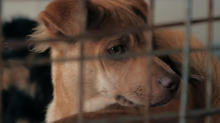 enclosure : Close-up of sad puppy in shelter behind fence waiting to be rescued and adopted to new home. Shelter for animals concept Stock Footage