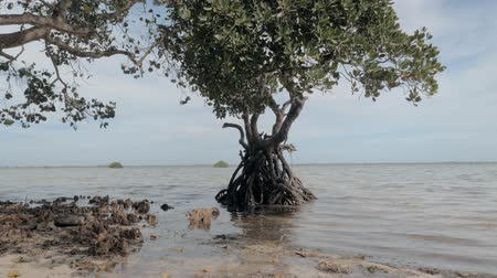 biodiverzitás : Steadicam shot of beautiful tropical mangrove tree in water