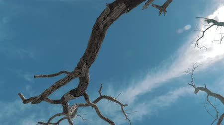 médio : Gimbal steadicam shot of a dry, dead tree with abstract branches against a blue sky. Lonely dry tree trunk on the beach near the sea on a sunny day.