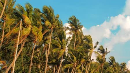 Острова : Bottom view of coconut palm trees forest in sunshine. Palm trees against a beautiful blue sky. Green palm trees on blue sky background. Travel concept. Стоковые видеозаписи
