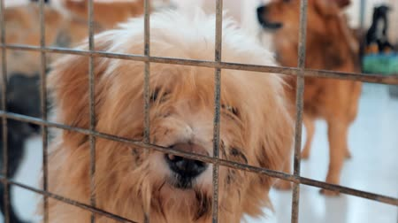 enclosure : Portrait of sad mixed breed dog behind the fences. Dog in a shelter or an animal nursery. Shelter for animals concept. Stock Footage