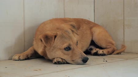 hound : Lonely stray dog lying on the floor in shelter, suffering hungry miserable life, homelessness. Shelter for animals concept