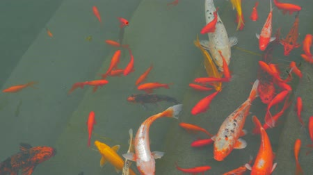 besleme : Many colorful goldfish and Koi Carp are swimming in pond. Decorative fish in chinese water garden. Stok Video