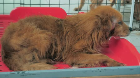 animal adoption : Poor dog affected by tetter shakes with cold on bed in pet shelter. Young dog scared of people but looking for love in the dog shelter cage.