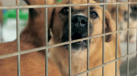 kennel : Portrait of barking mixed breed dog behind the fences. Dog in a shelter or an animal nursery. Shelter for animals concept. Stock Footage