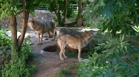 farkas : Two wolves howling in a zoo