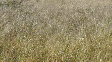 kurutma : Video of grasses turning from green to brown in the early fall swaying in the wind.