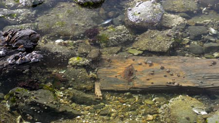 apodrecendo : Video of a rotting board under salt water with periwinkles and rocks on the coast of Maine. Stock Footage