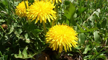dmuchawiec : Close video of a springtime dandelion moving about in a breeze.