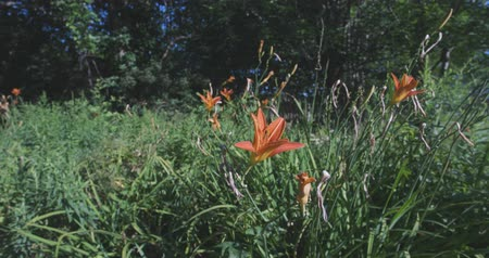 estame : Several blooming orange daylily flowers blowing in a breeze in the summertime.