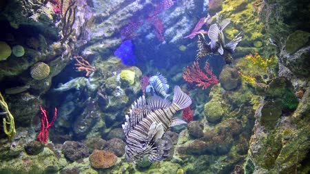 Closeup of Pterois fishes, commonly known as lionfishes, as seen in aquarium environment