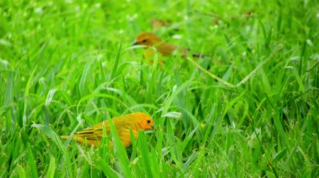 Beautiful yellow canaries birds on the grass. Wildlifes scenery. Animals scenery. Beautiful birds in nature.