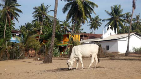 Cows walking on the beach at sunset in Arambol, Goa