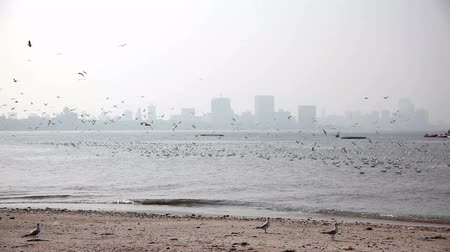 Seagulls at Mumbai beach Wideo