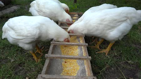 backyard chickens eating Stock Footage