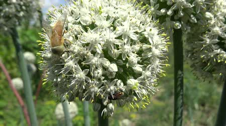 esinti : bee pollinating onion flowers in the breeze