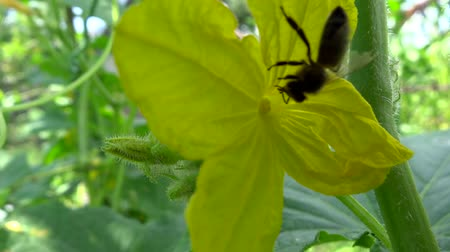cucumber flower pollinated by bee Stock mozgókép