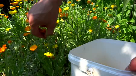 person picking marigold flowers