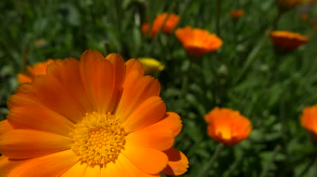 very close up marigold flower in the breeze
