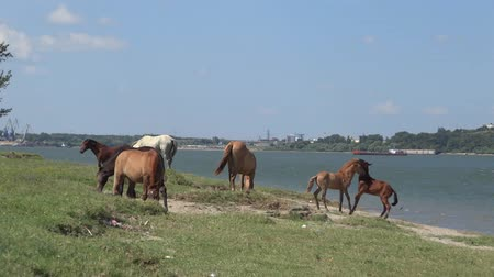 young horses playing the Danube river
