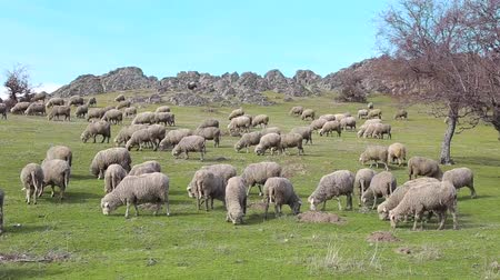 Many sheep grazing on the top of the mountain among the rocks on a sunny day