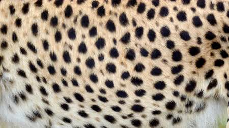 kočkovitý : Slow motion of moving real cheetah hair. Animal background abstract natural animation