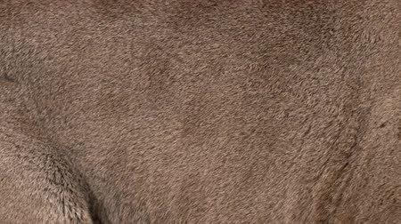 kočkovitý : Slow motion of moving real cougar hair. Animal background abstract natural animation