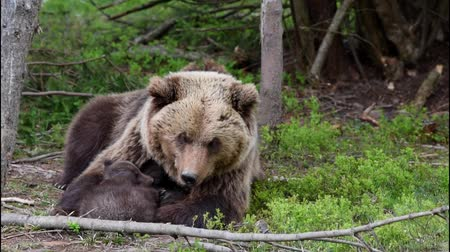 arctos : Bear with cubs in forest Stock Footage