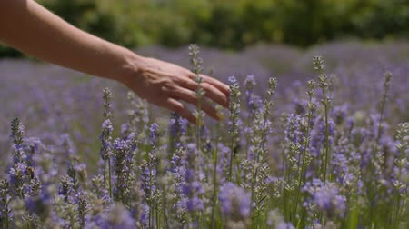 stonky : Close-up of female traveler runs her hand over a lavender shrubs on beautiful summer day. Womans hand gently touching lavender stalks blossoming while enjoying a walk in floral glade in countryside.
