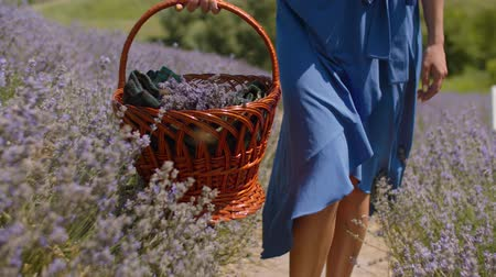 levandule : Female with wicker basket walking in blooming lavender field on summer day. Midsection of woman in blue dress stepping on dusty footpath with picnic basket sliding over fragrant lavender blossoms.