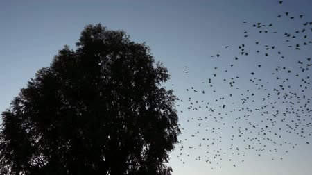 birds flying : Silhouette of a large, bird filled tree that seems to explode while the birds are leaving in synchronized harmony.