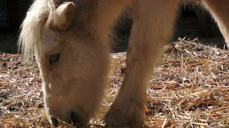 poník : Close up of a hairy, white pony at the ranch while hes eating hay off of the ground.