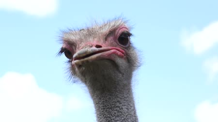 garip : Close Up Ostrich Head Shot Stok Video