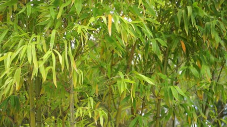 bamboo forest : Young, green bamboo leaves and stalks blowing in a slight breeze.