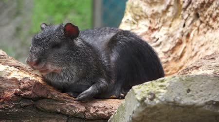 świnka morska : Common Agouti rodent which is related to the guinea pig laying around and lounging in the sun.
