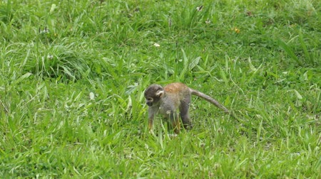 roedor : Cute Squirrel Monkey Walking Through the Grass