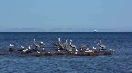 racek : Pelicans and Seagulls Sharing a Rock Outcrop on the Ocean