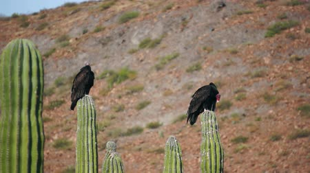 corvo : Two turkey vultures roosting on top of cactus while cleaning their feathers and bodies.