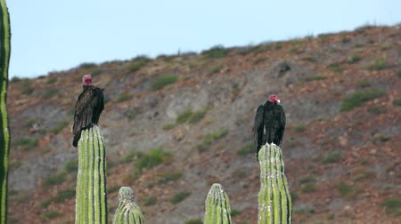 corvo : Two turkey vultures resting while roosted on top of cactus in the desert and hot sun. Vídeos