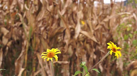 kertészet : Dry Corn with Yellow Flowers Dolly