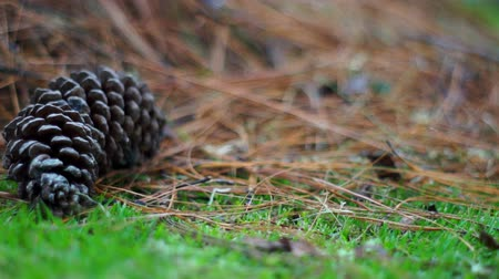 tű : Pine Cone in the Grass Dolly