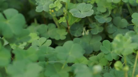 kapatmak : Clover Plant Close Up Dolly