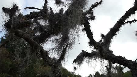 dead tree : Low angle dolly shot of creepy and scary looking Spanish Moss, used as the filer material in evaporative coolers, hanging from dead tree branches and moving in the breeze with the sky in the background. Stock Footage
