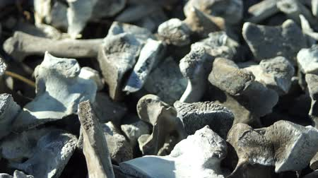 carbonize : Close up panning shot of many charred bones that were incinerated in a fire after disposal of the remains.